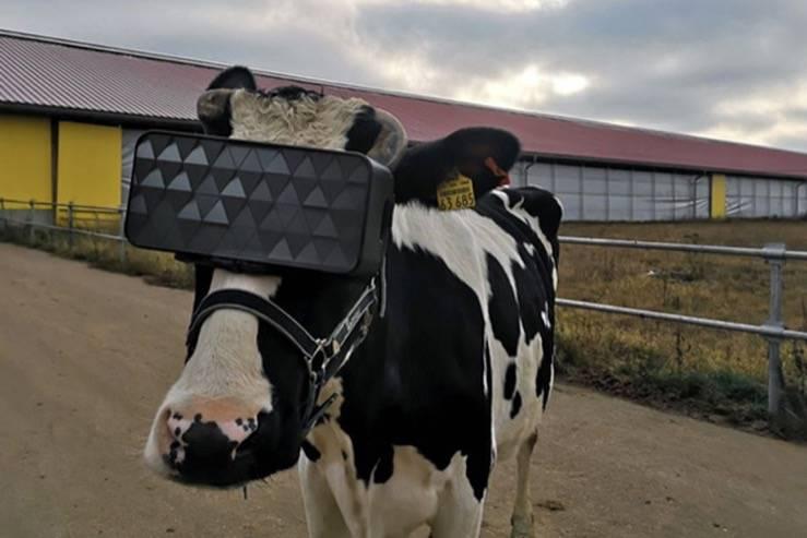 有人把VR头盔戴在牛身上,我们想知道为什么